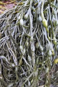 Ascophyllum Nodosum OGTIreland